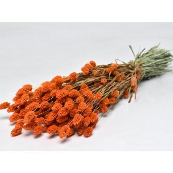 Botte de Phalaris séchée coloré burnt orange
