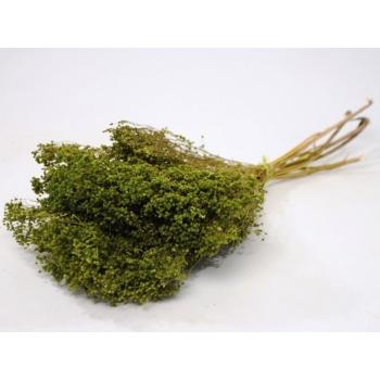 Botte séchée Broom bloom vert
