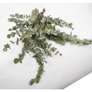 Botte séchée Eucalyptus Cinerea