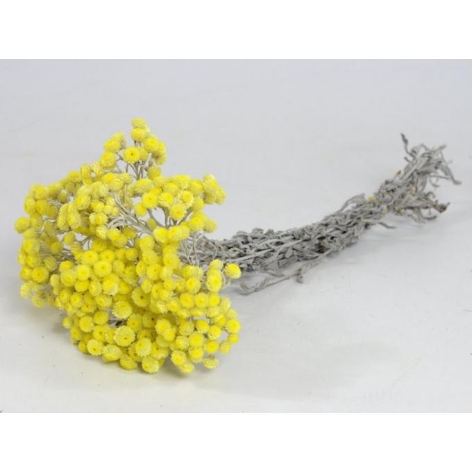 Botte séchée Helichrysum