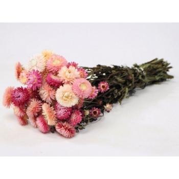 Botte séchée Helichrysum rose clair