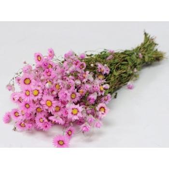 Botte séchée Rodanthe rose