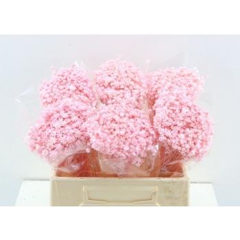 Glixia blanchi rose clair stabilisé séchée 50 grammes