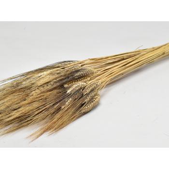 Barbe noire de blé séchée