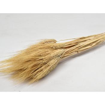 Barbe blonde de blé séchée