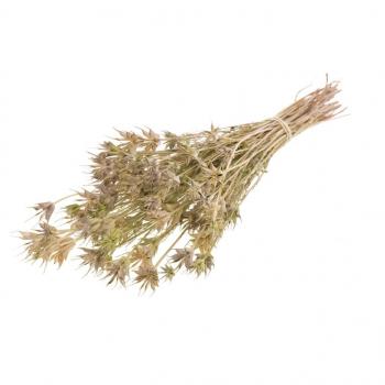 Botte séchée Nigella Orientalis