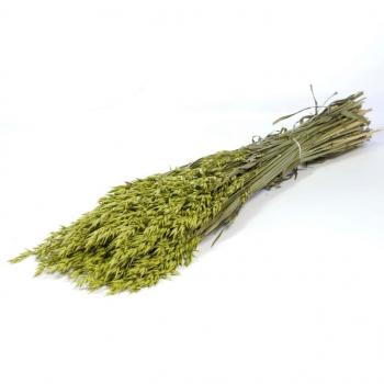 Avoine séchée (Avena) colorée en vert